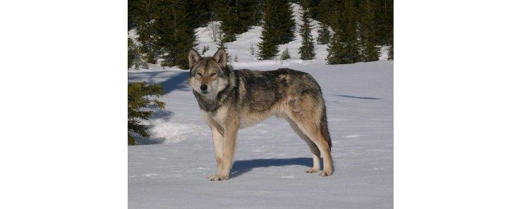 Сарлос (Волчья собака Сарлоса, сарлосская волчья собака) / Saarlooswolfhond (Saarloos Wolfdog)