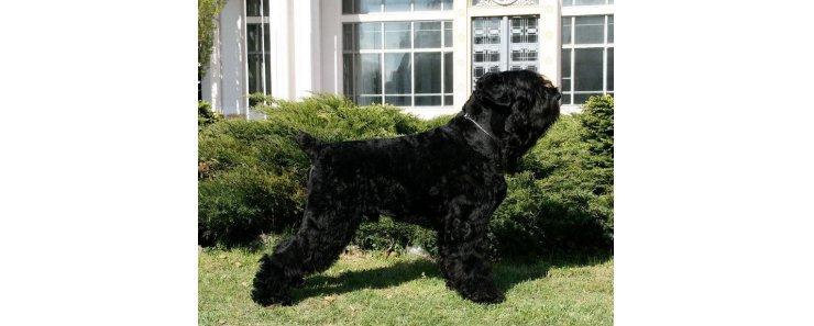 Черный терьер (Русский черный терьер) / Black Russian Terrier (Russkiy Chernniy Terrier)