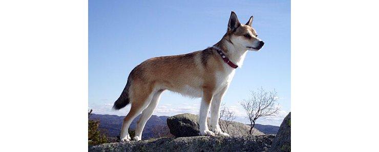 Лундехунд (Норвежская тупиковая лайка) / Norwegian Lundehund (Lundehund, Norwegian Puffin Dog)