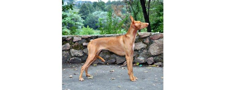 Фараонова собака / Pharaoh Hound (Kelb-tal Fenek)