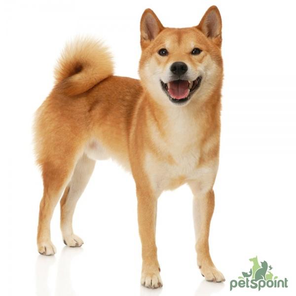 фото японская собака