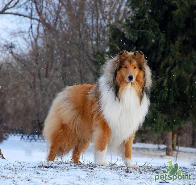 Обои  природа животное осень бордерколли собака пес