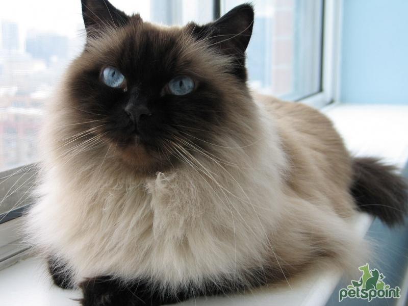 Гималайская порода котов