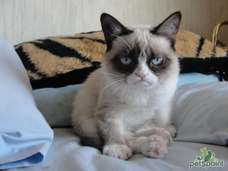 Картинки по запросу сердитый кот