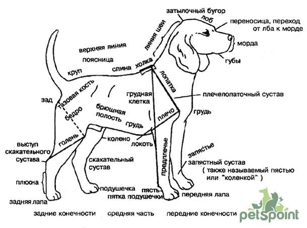 Где находится скакательного сустава, собаки как вылечить воспаленный сустав колена