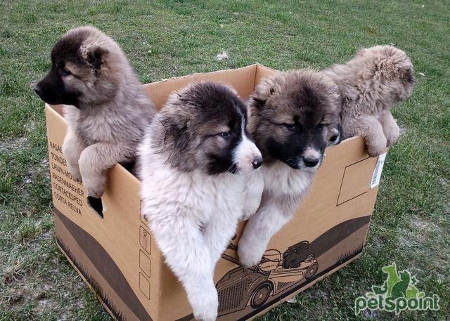 щенки крупных собак